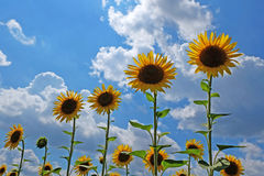 Sunflowers with blue sky Stock Photography
