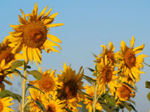 Sunflowers and blue sky. Sunflowers in the field Royalty Free Stock Photos