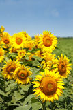Sunflowers with blue sky Royalty Free Stock Image