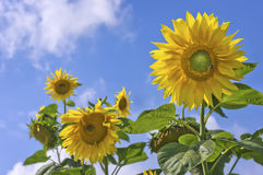 Sunflowers on the blue sky Stock Image