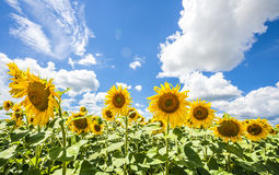 Sunflowers blue sky and White Clouds  Nature Sommer Season. Flowers Royalty Free Stock Photo
