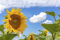 Sunflowers blue sky and White Clouds  Nature Sommer Season. Flowers Stock Image