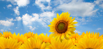 Sunflowers and blue sun sky. One sunflower on the field  turns towards the sun Royalty Free Stock Image