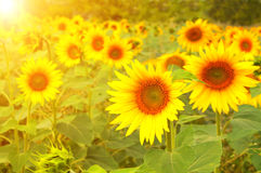 Sunflowers on blurred sunny background Royalty Free Stock Photography