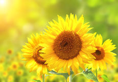 Sunflowers on blurred sunny background Stock Photo