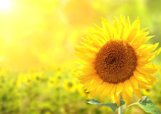 Sunflowers on blurred sunny background Royalty Free Stock Image