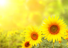 Sunflowers on blurred sunny background Stock Image
