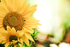 Sunflowers with bokeh background Stock Photos