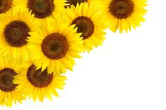 Sunflowers border with white copy space Royalty Free Stock Image