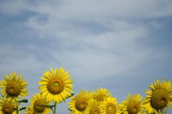 Sunflowers Bottom Frame Blue Sky Background. Beautiful Stock Photo