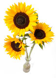 Sunflowers bouquet. Three yellow sunflowers in vase isolated over white stock photos
