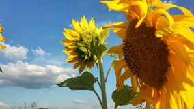 Подсолнухи - Sunflowers. Bright sunflowers and blue sky royalty free stock images
