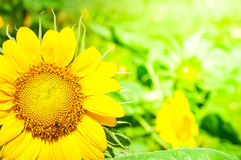 Sunflowers. Bright sunflowers on blur yellow background Royalty Free Stock Photo