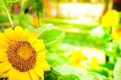 Sunflowers. Bright sunflowers on blur yellow background Stock Image