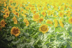 Sunflowers in bright sunlight Royalty Free Stock Image