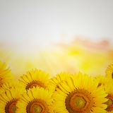 Sunflowers. Bright sunflowers on yellow background stock photo