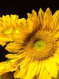 Sunflowers. Brightly colored sunflowers with black background Stock Photography