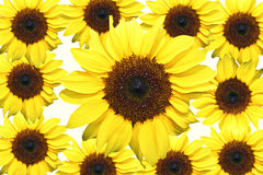 Sunflowers 11. 11 brightly colored sunflowers on a white background Royalty Free Stock Photos