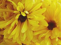 Sunflowers. Bunch of sunflowers Stock Photos