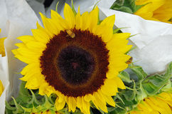 Sunflowers bunched for market. Sunflowers wrapped in white paper bunched for market stock images