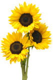 Sunflowers in Bundle Isolated on White Stock Image