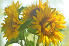 Sunflowers. A bundle of sunflowers in warm light Stock Image