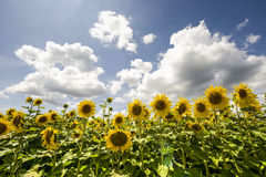 Sunflowers in Burgundy Stock Photos