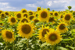Sunflowers in Burgundy. Countryside in Burgundy (Yonne, France) - Field of sunflowers Stock Photo