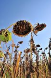 Sunflowers burned to the drought Royalty Free Stock Photo
