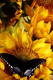 Sunflowers and Butterflies Stock Photo