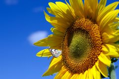 Sunflowers with butterfly Stock Photography