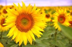 Sunflowers of Cappadocia. Deep yellow of sun Royalty Free Stock Photo
