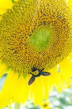 Sunflowers with carpenter bee Stock Photos