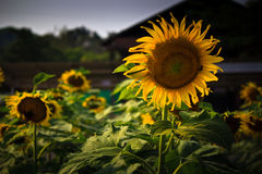 Sunflowers. Cheerful yellow sunflowers in the morning royalty free stock image