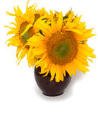Sunflowers in a clay vase Stock Photography