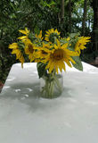 Sunflowers in clear glass vase under shade of tree in the garden Royalty Free Stock Images