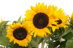 Sunflowers close up. Studio cutout Stock Images