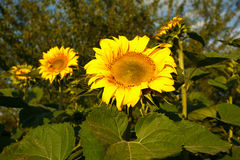 The sunflowers Stock Images