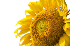 Sunflowers close up isolated Stock Photos
