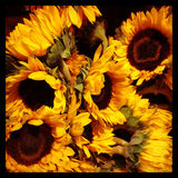 Sunflowers Close Up Stock Images