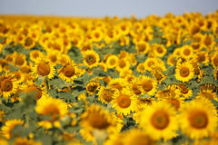 Sunflowers close up Royalty Free Stock Photos