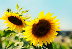 Sunflowers closeup on blue sky background. Royalty Free Stock Photography
