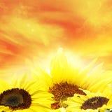 Sunflowers. Closeup of sunflowers and bright sky Stock Photo