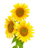 Sunflowers closeup isolated on white background Stock Photos