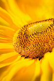 Sunflowers closeup Royalty Free Stock Photography