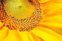 Sunflowers closeup Stock Photo