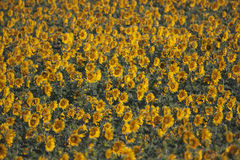 Sunflowers closeup, Valensole, PRovence, France Royalty Free Stock Photo