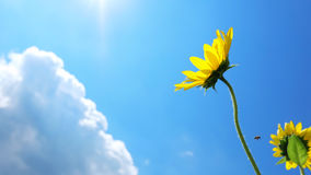 Sunflowers with cloud and blue sky Stock Photography