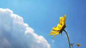 Sunflowers with cloud and blue sky Stock Image