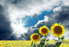 Sunflowers with clouds back Royalty Free Stock Image